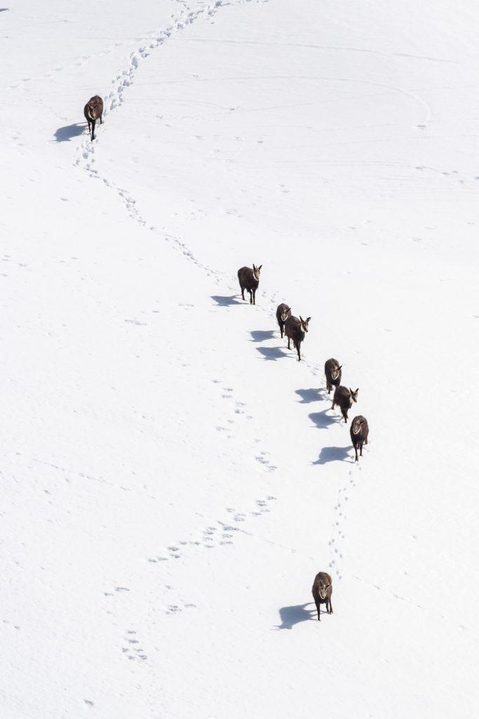 Gämsen im Schneefeld, Wallis, Schweiz