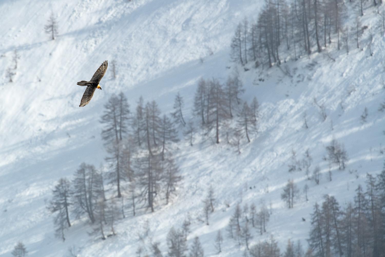 Bartgeier im Suchflug, Wallis, Schweiz