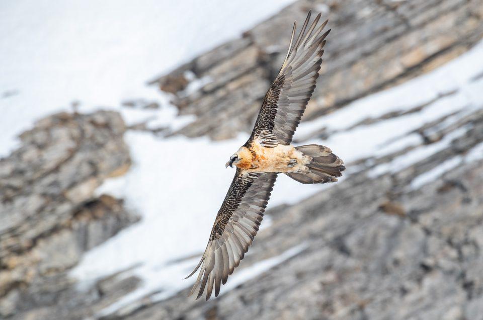 Im Reich der Bartgeier - Vogelfotografie in den Alpen